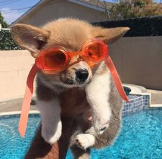 Going for a swim!... Cute Funny Animals, Cute Baby Animals, Animals And Pets, Corgi Dog, Pet Dogs, Puppy Pictures, Animal Pictures, Cute Puppies, Dogs And Puppies