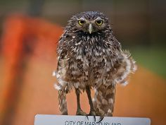 Little Known Fact: Owls LOVE Water, http://photovide.com/owls-love-water/  Check more at http://photovide.com/owls-love-water/