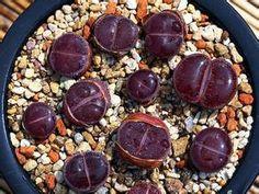 20 ピース卸売100%本物の ミックス lithops種子多肉植物種子レア植物、盆栽有機seeds-18861(China (Mainland))