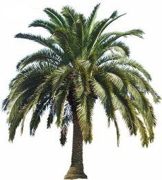 Palm Tree Types (cold hardy)  Canary Island Date Palm