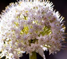 fiore di cipolla