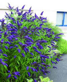 Vlinderstruik - Buddleja blauw - Tuinsjop Vaste planten