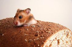 Mouse eating thru bread