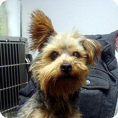 brattleboro, VT - Yorkie, Yorkshire Terrier/Schnauzer (Miniature) Mix. Meet Tristen a Dog for Adoption.
