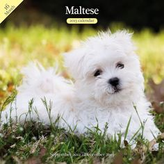 Magnet and Steel Maltese Traditional Wall Calendar > Don't get left behind, see this great dog product : Dog Memorials