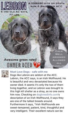 SAFE❤️❤️ 9/9/16 Brooklyn Center LEBRON – A1086660 MALE, BLACK / GRAY, IRISH WOLFHOUND, 3 yrs STRAY – STRAY WAIT, NO HOLD Reason OWNER DIED Intake condition EXAM REQ Intake Date 08/22/2016 http://nycdogs.urgentpodr.org/lebron-a1086660/