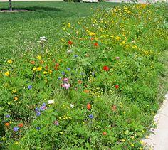 An easy-care wildflower border in Michigan, American Meadows, Wildflower Seeds, Wildflowers, Perennials, Fields, Michigan, Eye Candy, Landscaping, Gardens