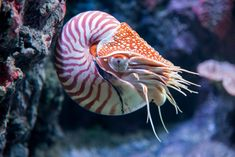 Chambered nautilus at the Monterey Bay Aquarium Monterey Bay Aquarium, Fauna Marina, Living Fossil, Life Under The Sea, Ocean Creatures, Curious Creatures, Underwater Creatures, Mundo Animal, Underwater World