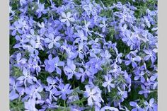 How to Divide Creeping Phlox | eHow.com