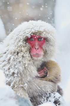 Japanese Snow Monkey Mother and Baby, Kyoto.