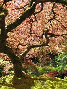 A Japanese Maple (Acer palmatum) in the Portland Japanese Garden