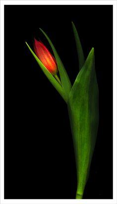 """Tulip portrait"" by David Rabinowitz."