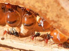 Outra espécie exótica é a formiga pote de mel, que vive em regiões desérticas e depende do néctar produzido por plantas que surgem apenas nos períodos chuvosos. Para armazenar todo esse néctar, algumas formigas são escolhidas para viverem como autênticos potes de mel, armazenando, no próprio abdômen