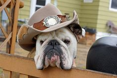 """""""I have a job, and by golly am gonna do it!"""" #dogs #pets #Bulldogs Facebook.com/sodoggonefunny"""