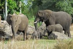 「african forest elephants」の画像検索結果
