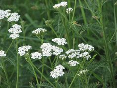 Yarrow, sometimes known as milfoil or plumajillo, is a small drought-tolerant perennial flowering plant in the Asteraceae family that typically reaches about three feet in height. It's found …
