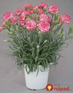 Nečakajte kým zvädnú: Takto jednoducho premeníte rezané klinčeky z kvetinárstva na úžasnú ozdobu vášho bytu, alebo skalky! Carnation Plants, Carnations, Pink Purple, Hot Pink, Ikebana, Flower Pots, Red And White, Planter Pots, Floral Wreath