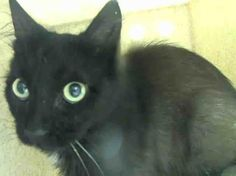 XYLOPHONE - A1041393 - - Staten Island   ***TO BE DESTROYED 07/06/15*** For an eleven- month -old,poor XYLOPHONE has already been through the ringer!! This adorable male was CAUGHT in a trap, set up because their was cat waste in the yard!! So clearly NOT using his brain..the person who set the trap then caught him. So now after such a traumatic experience, of course this little guy is scared out of his mind and because of that behavior the ACC has slapped XYLOPHONE with a