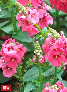 Perfect For The Thriller In Your Container Garden Upright Rose Pink Sundiascia Annual Flowers