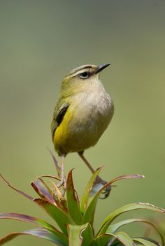 New Zealand Rockwren Xenicus gilviventris Pretty Birds, Beautiful Birds, Animals Beautiful, Birds In The Sky, Small Birds, Tropical Birds, Colorful Birds, Birds Online, New Zealand Houses