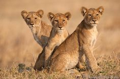 Three lion cubs waiting for their mothers to return from a hunt. They are aligned so perfectly!