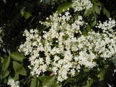 5 litrů vody převařit a nechat vychladnout.Přidat  100g kyseliny citronové,zamíchat a přidat 80 květ...