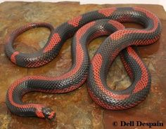 Crazy Line Aberrant Honduran milk snake Reptiles Facts, Les Reptiles, Reptiles And Amphibians, Beautiful Creatures, Animals Beautiful, Geckos, Milk Snake, Terrarium Reptile, Spiders And Snakes