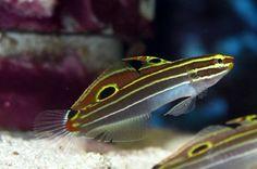 Amblygobius hectori Fish List, Lake Tanganyika, Cichlids, Aquarium, Animals, Google Search, Life, Image, Collection