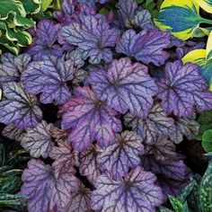 Heuchera Blackberry Ice is an attention getting shade groundcover that combines foliage, texture, color and good looks all in one shade plant. Deliciously saturated purple Heuchera foliage is softened with generous amounts of silver and accented with deep black veins. Like a frosty ice on a summer day, this mid-tone purple coral bells is refreshing and fun lending charm to any shade garden space. Blackberry Ice makes for a beautiful clumping mound that stays neat and tidy throughout t...