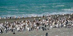 Colonia de Pingüinos Magallánicos-Reserva Natural Cabo Vírgenes
