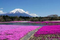 Shibazakura (芝桜, pink moss) in Yamanashi Prefecture, near Kawaguchi Lake, with Mt. Fuji in the background. Truly beautiful! :D