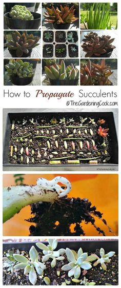 Succulents are very easy to propagate from leaves and cuttings. This gives you lots of plants for free! thegardeningcook.com