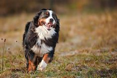 Run for it! #dog #dogs #dogsofpinterest #cachorro #cachorros #cute #petluni #pets #pet #fluffy #dogofpinterest #woof #auau #run #bernese #bernesedog #bernesemountaindog #bigdog  *autor da foto desconhecido* Bernese Mountain, Mountain Dogs, Bernese Dog, Pet Shop Online, Animals, Bernese Mountain Dogs, Diy Dog, Gatos, Animales