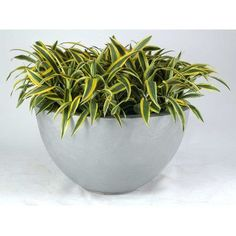 """Allied Molded Products Round Pot Planter Color: Hunter Green, Size: 14"""" H x 36"""" W x 36"""" D"""