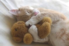 Kitty Cuddles #cute #animals #kawaii #cuddle #sleeping #cat #teddybear #snuggle