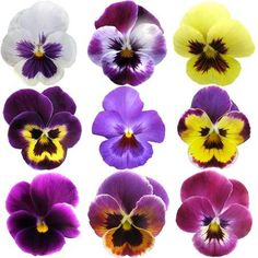 Pansies on White background - Stock Photo - Ideas of Stock Photo Photo - Pansies on White background Stock Photo 20337415 Rare Flowers, Exotic Flowers, Pretty Flowers, Purple Flowers, Pansy Tattoo, Flower Tattoos, Flower Images, Flower Photos, Cactus Flower