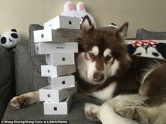 INCREDIBLE: The Son Of Chinas Richest Man Buys Eight Iphone 7s For His Dog (Photos)   Whatsapp / Call 2349034421467 or 2348063807769 For Lovablevibes Music Promotion   Coco the Alaskan Malamute might be the most pampered pooch in the world. The pet dog has apparently been given eight iPhone 7 handsets by his doted owner the only son of Chinas richest man Wang Jianlin worth 23 billion according to Chinese media. Pictures have emerged on Chinas social media showing the lucky canine posing next…