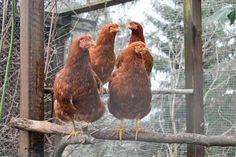 Aprende cómo cuidar gallinas: encuentra descripciones de todos los elementos que necesitan las gallinas para estar sanas y poner huevos.