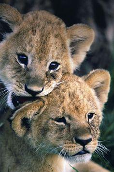 22 Ideas Tattoo Lion Cub Beautiful For 2019 - 22 Ideas Tattoo Lion Cub Beautiful For 2019 - Baby Animals Pictures, Cute Animal Pictures, Animals And Pets, Funny Animals, Wild Animals, Beautiful Cats, Animals Beautiful, Beautiful Babies, Big Cats
