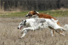 Two running borzois. #borzoi #dogs #Russian