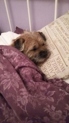 Rory the border terrier having a snooze
