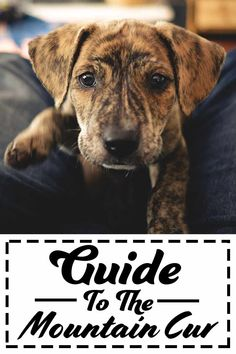 A complete guide to the Mountain-Cur - Dog breed guide.