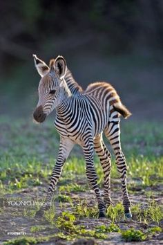 Africa, South Luangwa National Park. Common or Burchell's Zebra foal. A race or sub-species known as Crawshay's Zebra, which lacks the shadow stripes of other southen African zebras. by juliet