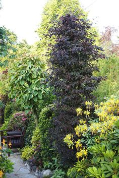 Purple Fern Leaf Beech (Fagus Sylvatica 'Rohanii') This is one of our more unusual trees which we keep to a small size. Columnar Trees, Deciduous Trees, Trees And Shrubs, Trees To Plant, Front Door Landscaping, Outdoor Landscaping, Garden Shrubs, Garden Trees, Backyard Plants