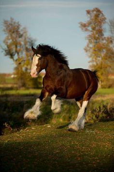 Clydesdale stallion, I believe Big Horses, Pretty Horses, Horse Love, Show Horses, Beautiful Horses, Animals Beautiful, Horse Photos, Horse Pictures, Zebras