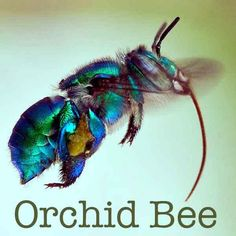 The perfume-seeking behavior is where the bee-utiful orchid bees get their name…. The perfume-seeking behavior is where the bee-utiful orchid Cool Insects, Bugs And Insects, Beetle Insect, I Love Bees, Cool Bugs, Bees And Wasps, Beautiful Bugs, Tier Fotos, Bee Happy