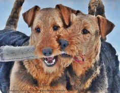 Käthe & Katana ~ Airedale Terrier von der Christinenheide
