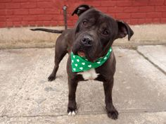 TO BE DESTROYED 3/25/14 Brooklyn Center   ONYX - A0994171  MALE, BLACK, STAFFORDSHIRE MIX, 1 yr, 4 mos OWNER SUR - EVALUATE, NO HOLD Reason NO TIME Intake condition NONE Intake Date 03/17/2014, From NY 11428, DueOut Date 03/17/2014, I came in with Group/Litter #K14-170959.  Medical Behavior Evaluation GREEN https://www.facebook.com/photo.php?fbid=773762765969938&set=a.617941078218775.1073741869.152876678058553&type=3&theater