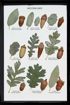 Crafts Leaves Oak Leaf and Acorn Display (Western Oaks) Oak Leaves, Tree Leaves, Plant Leaves, Trees And Shrubs, Trees To Plant, Botanical Art, Botanical Illustration, Tree Leaf Identification, Acorn Crafts
