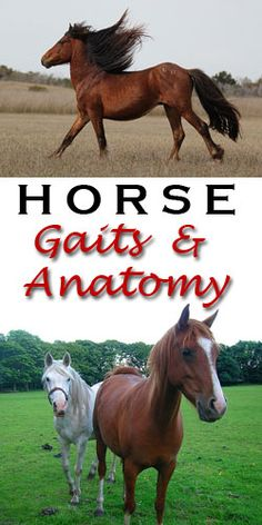 Everything authors need to know about horse gaits and anatomy. Part of the #FactInFantasy series.